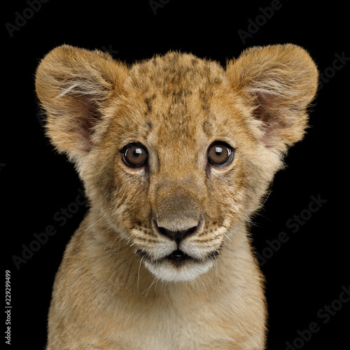 Fotografie, Obraz  Portrait of Lion Cub Gazing in Camera Isolated on Black Background, front view