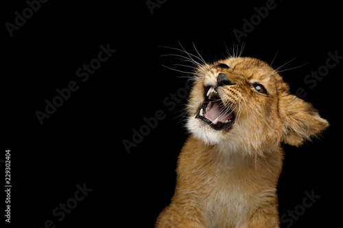 Naklejka premium Portret lwiątko z syczeniem twarzy uśmiech na białym tle na czarnym tle
