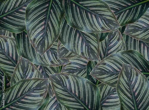 pojecie-zielonego-liscia-calathea-majestica-z-deszczem-opuszcza-tlo