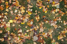 Background Made Of Fallen Yellow Autumn Leaves. Dry Autumn Leaves Covered The Green Grass. Copy Space.