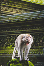 A Monkey Screaming At A Temple In Bali
