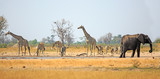 Fototapeta Sawanna - Beautiful African scene with Giraffes, Zebra and Elephant drinking from a waterhole in Hwange National Park, with a natural blue sky and bushveld background.