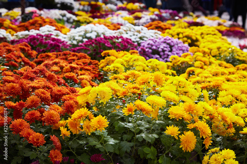 Chrysanthemum flowers as a background close up Poster Mural XXL