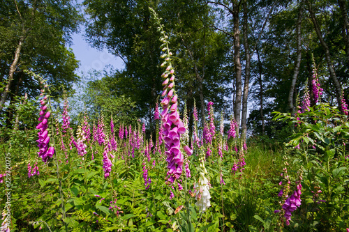Common foxcloves, Digitalis purpurea, flowering on a clearing in a Birch forest