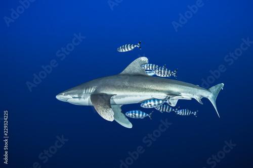 Oceanic whitetip shark with pilot fish, Red Sea, Egypt