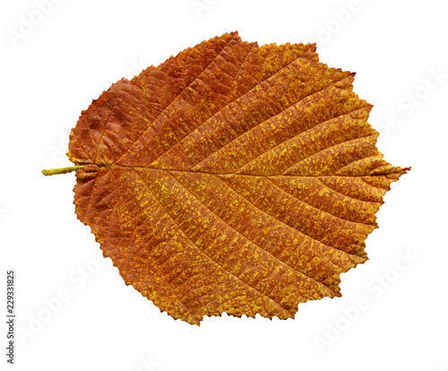 Alder brown leaf isolated on white.