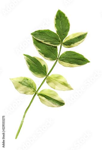 Fototapeta Polemonium reptans  plant isolated obraz na płótnie