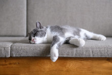 British Short Hair Cat In Bed