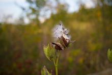 Medicinal Plant, Milk Weed See...