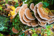 Healing, Medicinal Turkey Tail Mushrooms