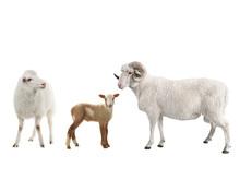 Baby Sheep And Male Sheep