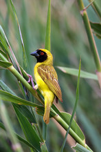 The Southern Masked Weaver Or African Masked Weaver (Ploceus Velatus) Sitting On The Branch With Green Background.