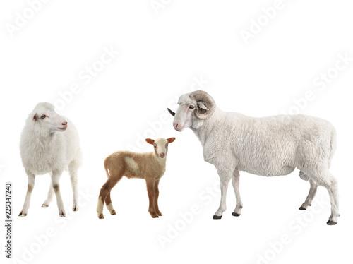 Photo sur Aluminium Sheep baby sheep and male sheep