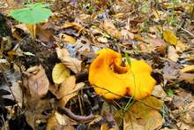 Omphalotus Olearius Poisonous, Highly Toxic Mushroom