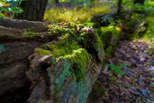 Fallen, Large Oak Tree Covered In Moss
