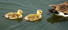 Canadian Goose (Branta Canadensis Geese) Male And Female With Young Goslings
