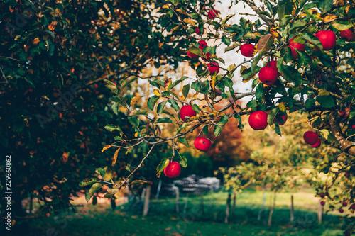 Pommier avec pommes rouges dans le verger