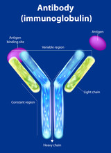 The Structure Of The Antibody ...