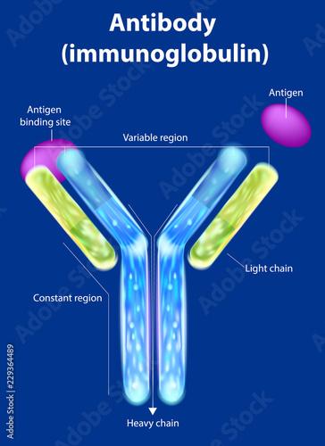 The structure of the antibody (immunoglobulin) Canvas Print
