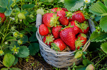 Basket Of Freshly Picked Strawberries From The Garden