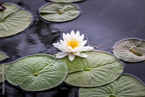 Valokuvatapetti Wild pond lily flower
