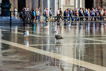 Sea Gulls Sitting In A Puddle On Piazza San Marco In Venice, Italy