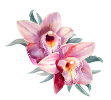 Two Wonderful Pink Orchids. Hand Drawn Watercolor