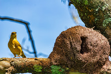 Rufous Hornero Brazilian Bird On Tree Branch Next To The House - Joao-de-barro Brazilian Bird