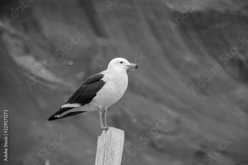 Fotografia, Obraz  gaviota posada sobre un poste