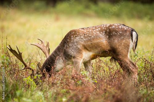 Poster Oceanië Beautiful fallow deer male (dama dama) in autumn meadow.