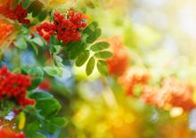 Rowan Tree, Close-up Of Bright...