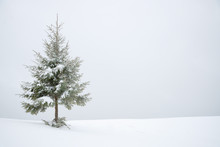Frosty Snow Covered Fir Tree In Snow As Winter Background.