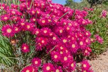 Lampranthus Flowers