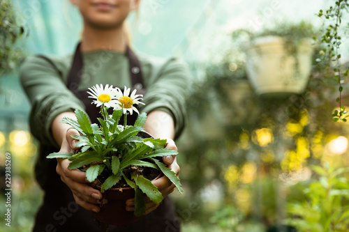 Fotografiet Woman gardener holding plant in greenhouse.