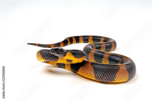 Bismarck-Ringpython (Bothrochilus boa) - Bismarck ringed python