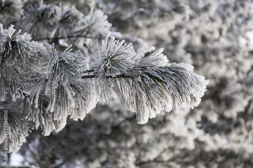Fototapety, obrazy: Snow-cowered fir branches. Winter blur background. Frost tree