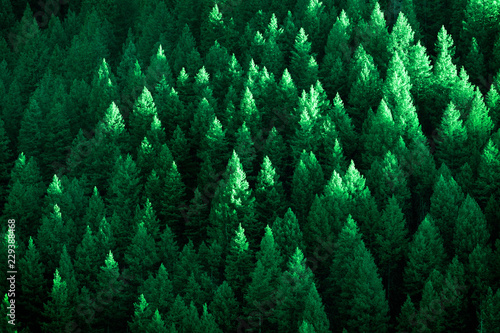 Garden Poster Forest Lush Green Pine Trees Forest Growth with Sunlight