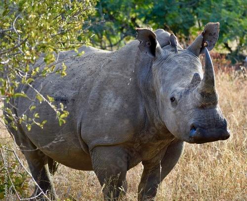 In de dag Neushoorn South African Rhino