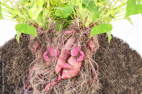 red purple sweet potato Ipomoea batatas with plant,root and soil fresh from garden