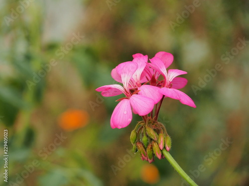 Fotobehang Bloemen Geranium flower buds. Water droplets on the petals.