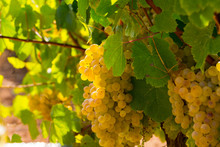 White Grapes On Branch On Vine...