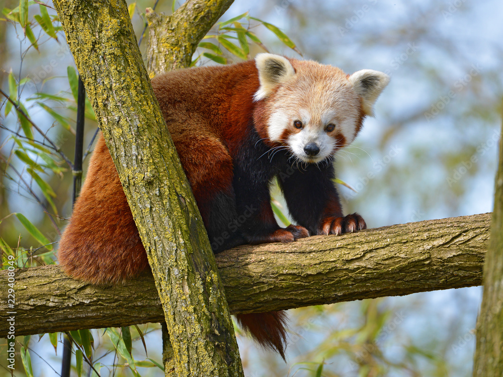 Red panda (Ailurus fulgens) on branch tree