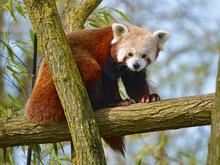 Red Panda (Ailurus Fulgens) On Branch Tree