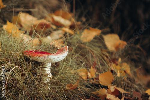Fliegenpilz im  Herbstlaub