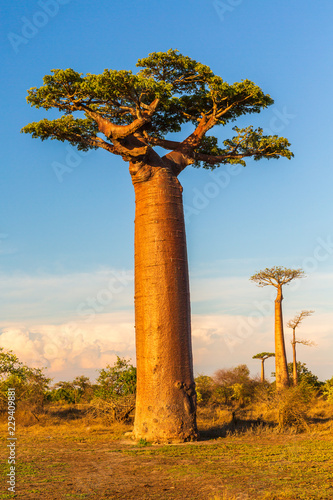 Photo sur Aluminium Baobab Beautiful Baobab trees at sunset at the avenue of the baobabs in Madagascar