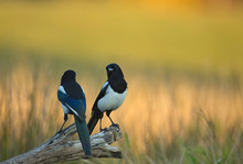 Two Magpies (pica Pica) On A Tree Trunk