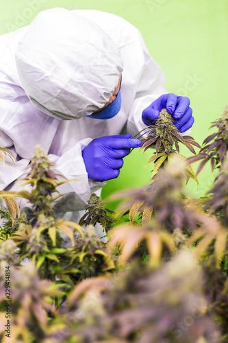 Aluminium Prints Bee CBD Cannabis Blüte Mann in weissem Anzug kontroliert die Pflanzen