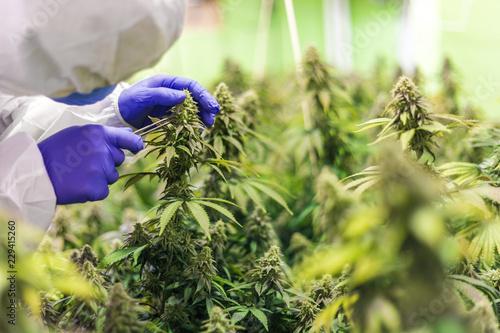 CBD Cannabis Blüte Mann in weissem Anzug kontroliert die Pflanzen