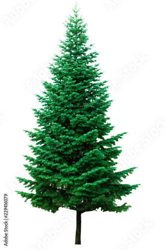 Green christmas fir tree