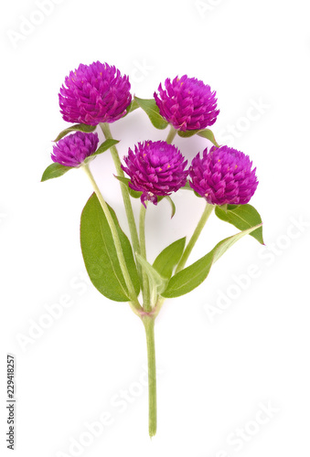 Globe amaranth beauty flower in white background Canvas Print